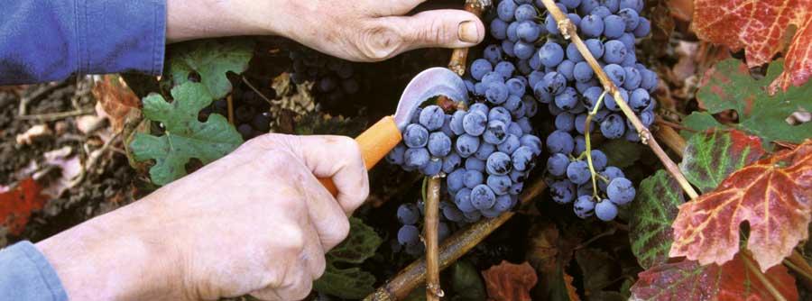 tradicion_viticultura